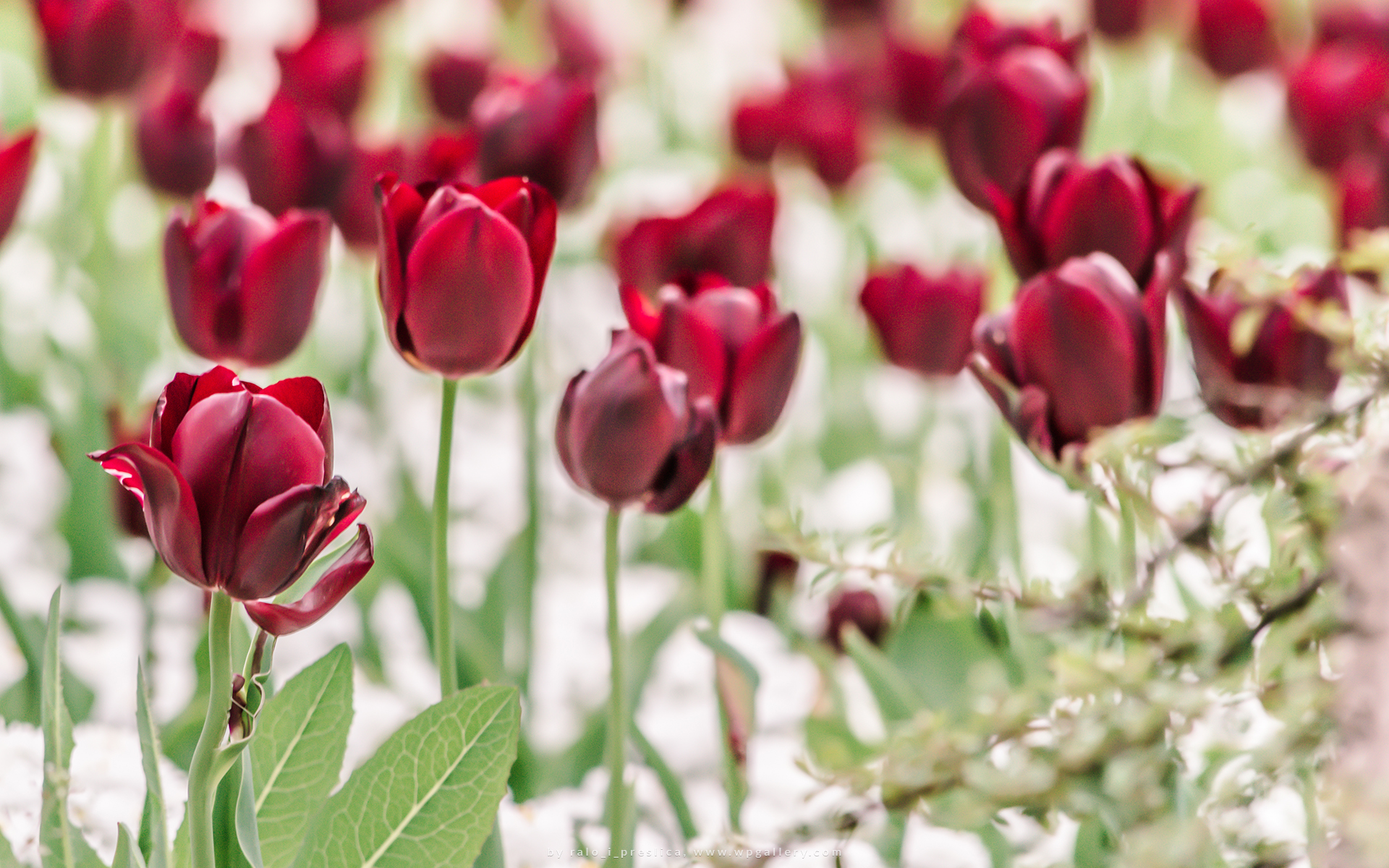 Red Tulip Field by ralo_i_preslica