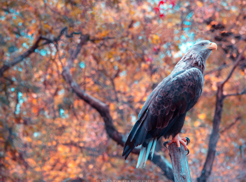 Autumn Eagle by Mish-A-Man
